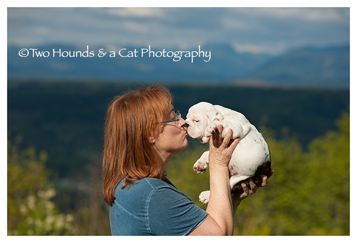 Gail and white bulldog puppy