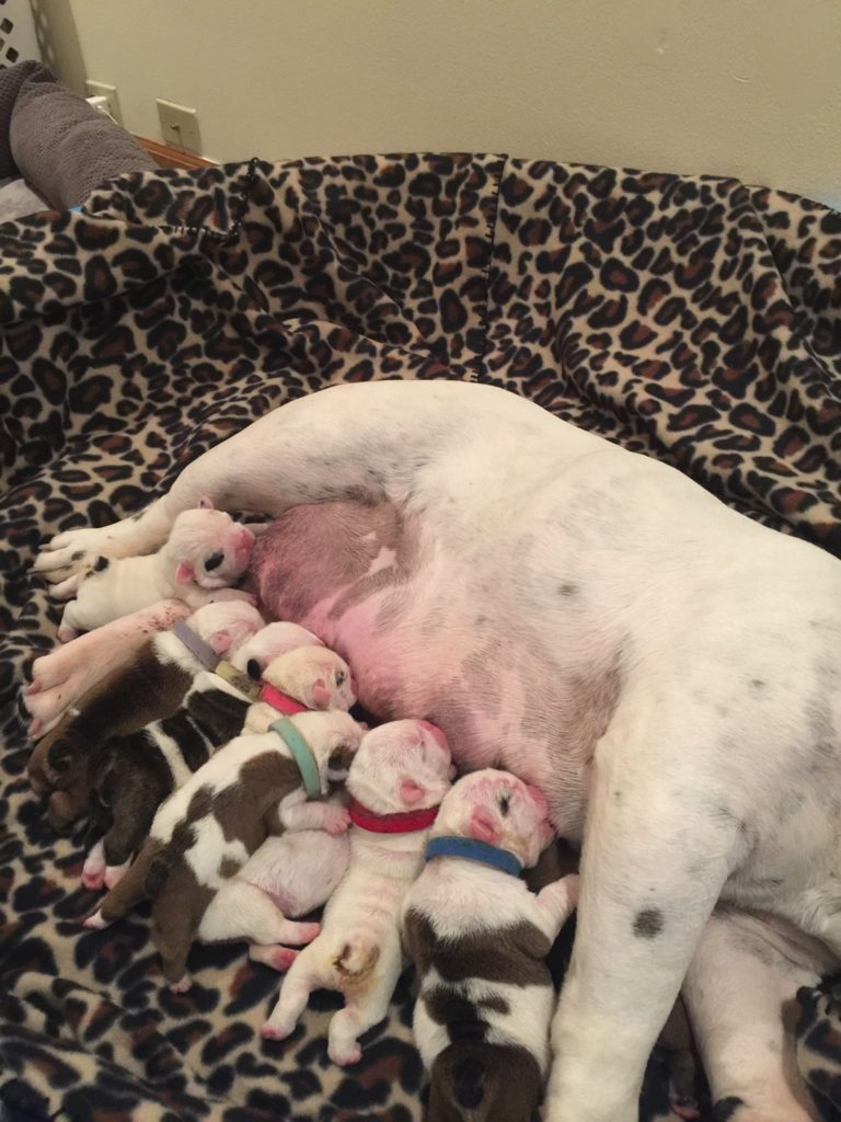 Make sure your bulldog puppies are kept warm and comfortable