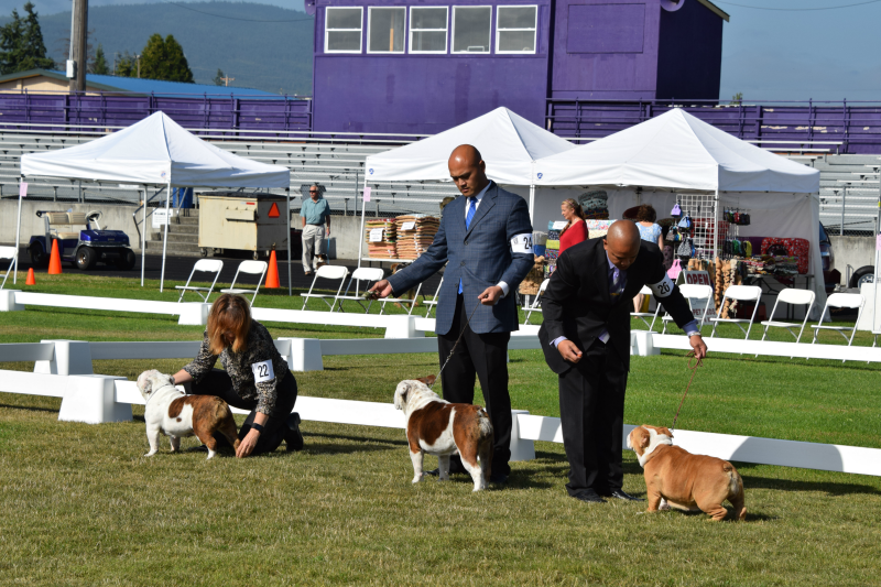 Bulldogs standing in the ring at the dog show
