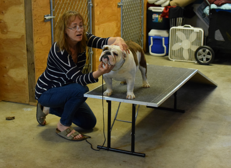 Bulldogs must keep their mouths closed when presenting for a dog show