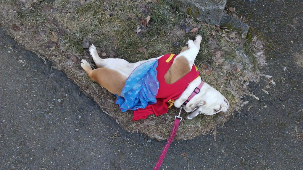 Bernice the bulldog superhero costume