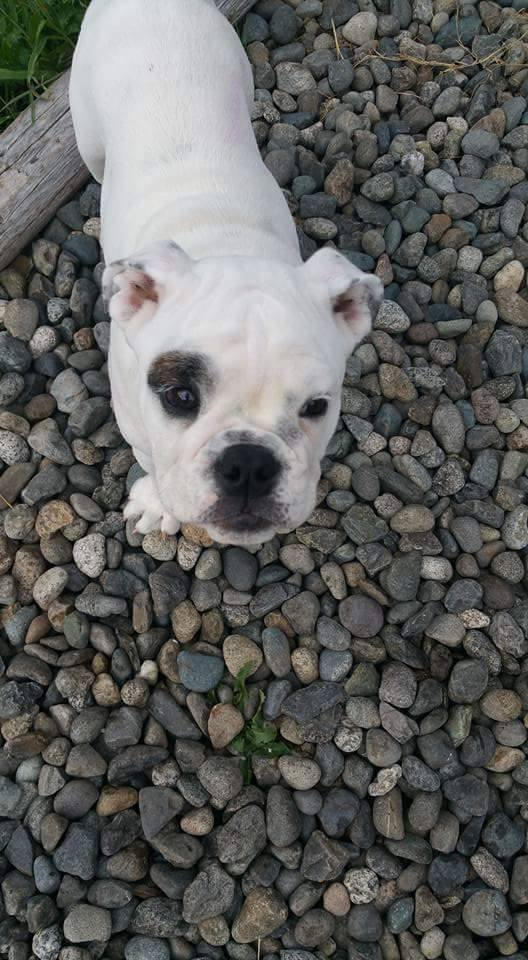 Rubble the bulldog puppy