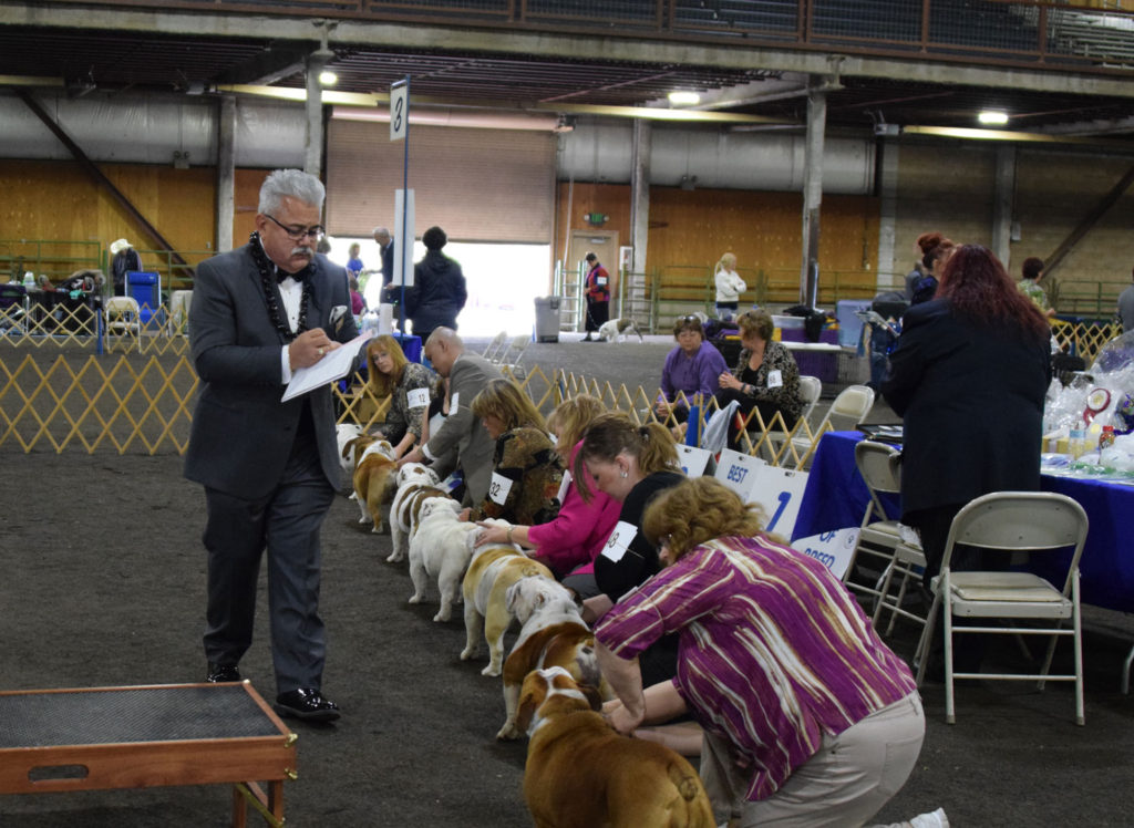 bulldogs and a judge at a dog show in Seattle