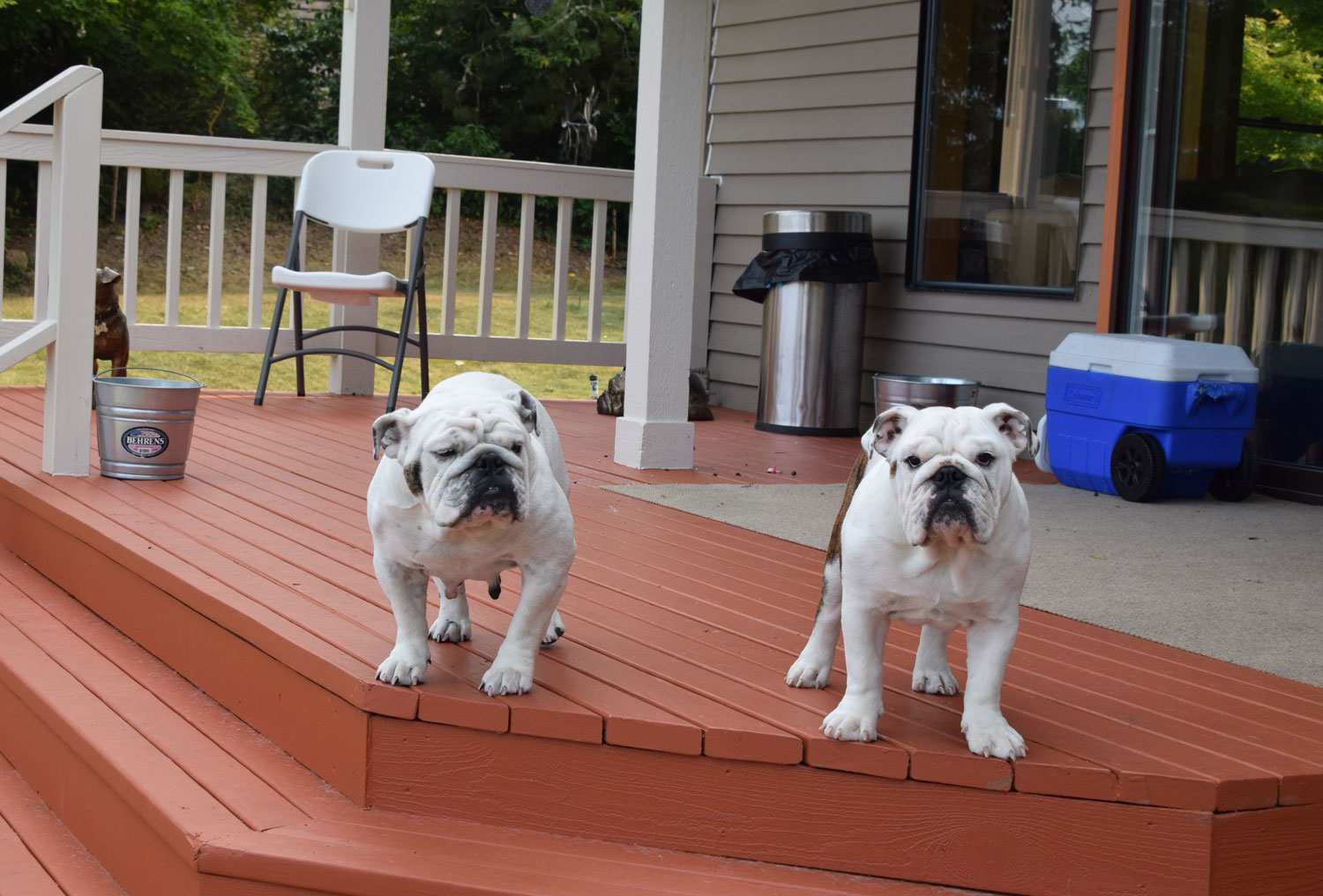 bulldogs standing on a patio