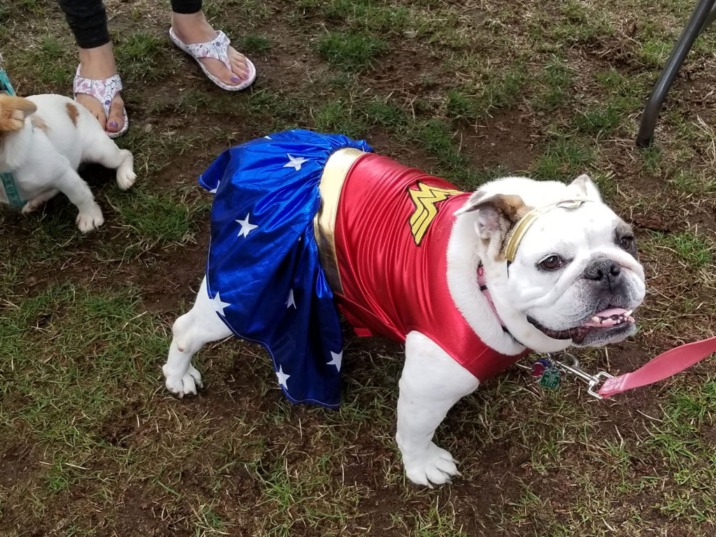 bulldog dressed as wonder woman