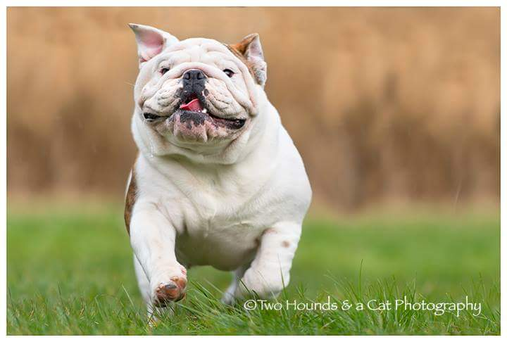 White bulldog running on the grass
